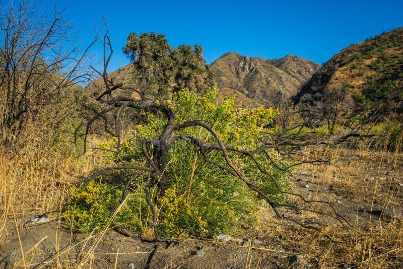 Nieżywy Drzewny Kwiatonośny Bush fotografia stock