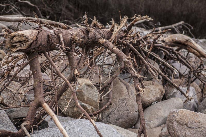 Nieżywy drzewny lying on the beach na skałach obraz royalty free