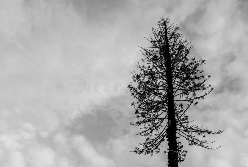 Nieżywy Drzewo. zdjęcie royalty free