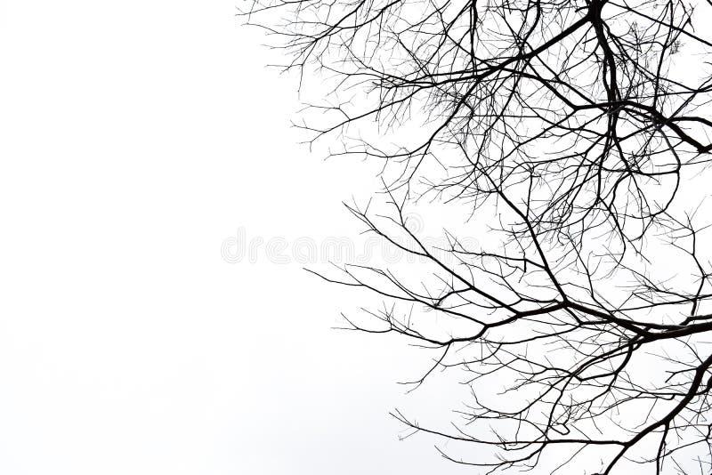 Nieżywy drzewo bez liści dalej odizolowywa obrazy royalty free