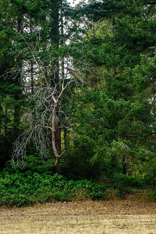 nieżywy drzewo burried w bluszczu i sosnach obrazy royalty free