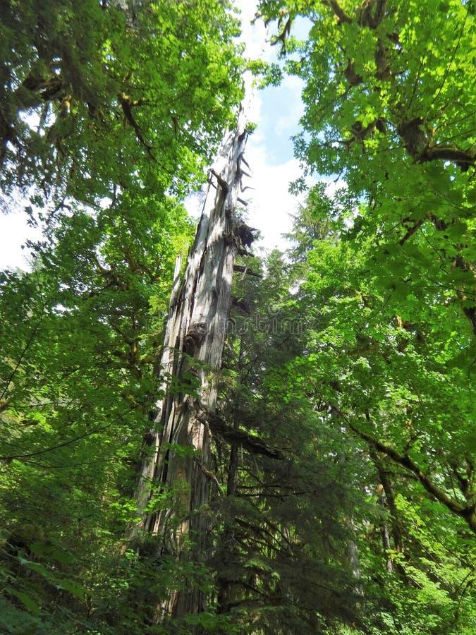 Nieżywy drzewo otaczający nowym życiem w lesie obrazy stock