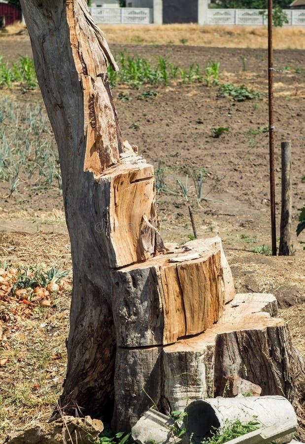 Nieżywy drzewo Stary nieżywy konopie po ciąć drzewa obraz stock