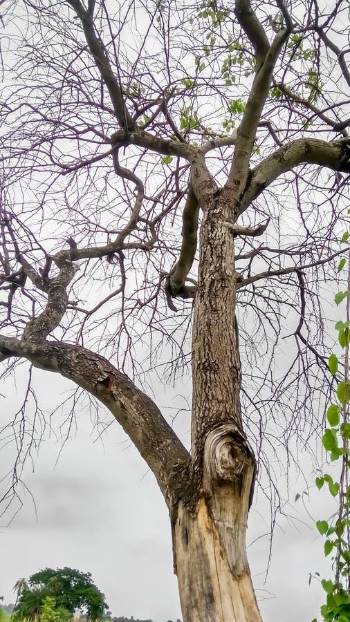Nieżywy drzewo nieżywy, umiera drzewa w pustyni z błękitnym chmurnego nieba tłem,/ fotografia stock