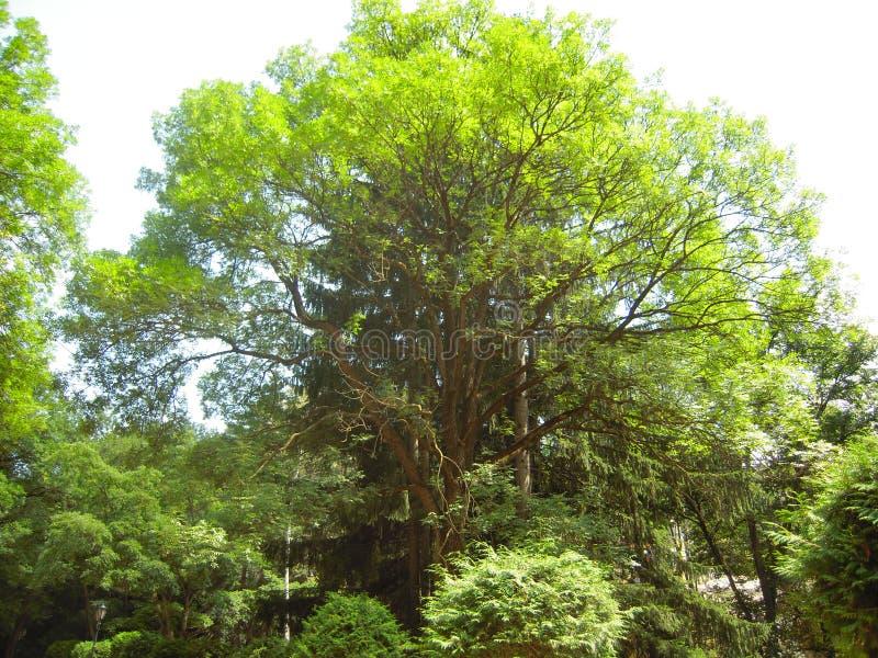 Nieżywy drzewo wśród utrzymania fotografia royalty free