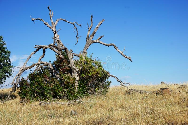 Nieżywy drzewo w Bush zdjęcie stock