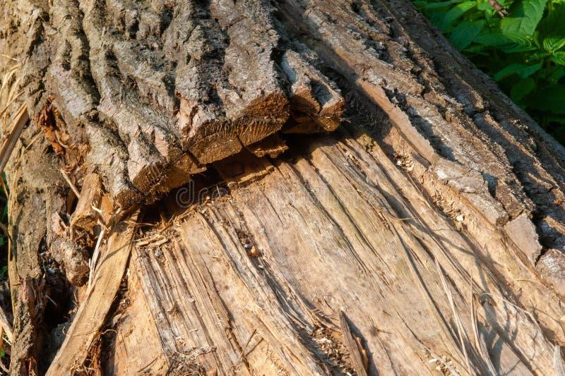 Nieżywy drzewo z gęstą barkentyną obraz royalty free