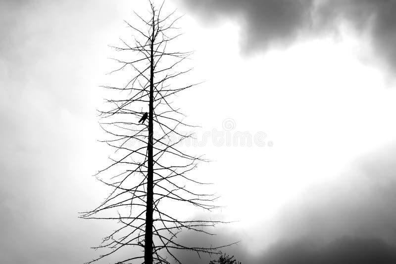 Nieżywy drzewo z wroną obraz stock