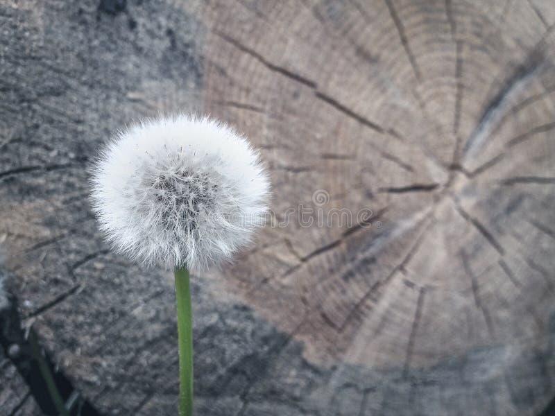 Nieżywy i żywy fantazi pojęcie: stonowany wizerunek biały dandelion przeciw drewnianego bela krzyża rżniętej sekci z rocznymi pie zdjęcie royalty free
