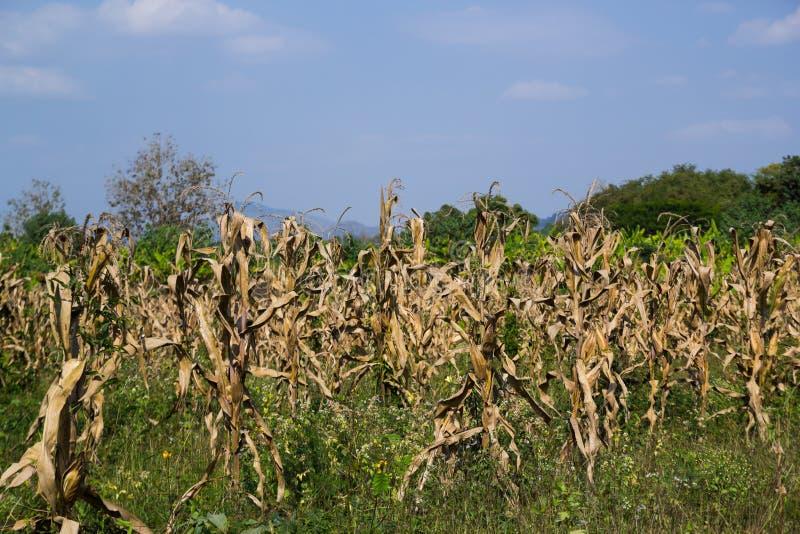 Nieżywy Kukurydzany pole zdjęcia stock