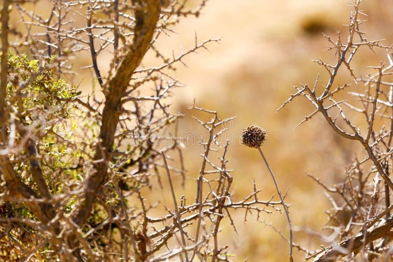 Nieżywy kwiat między cierniowatymi krzakami fotografia stock