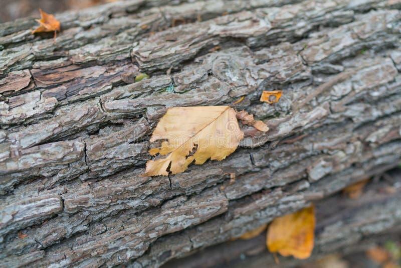 Nieżywy liść na barkentynie drzewo obrazy stock