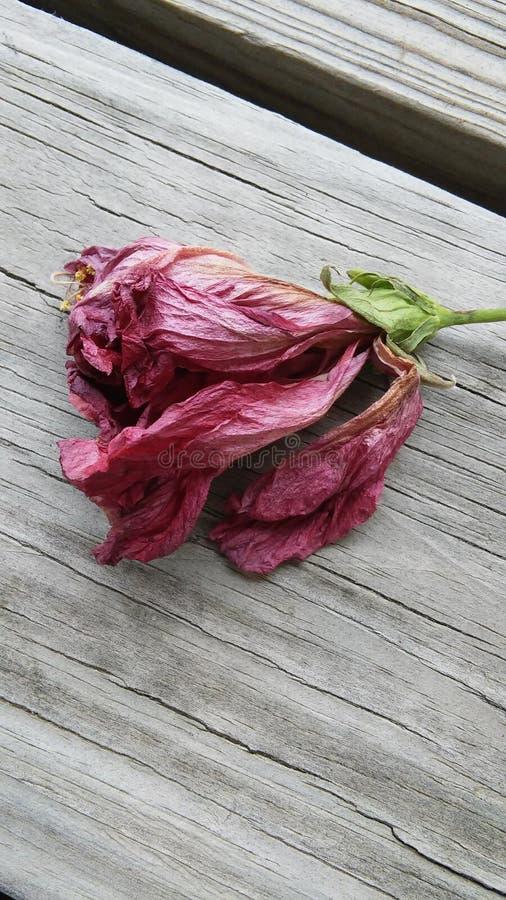 Nieżywy poślubnika kwiat obraz royalty free
