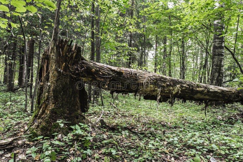 Nieżywy stary drzewo kłama w dzikim lesie, łamany bagażnik wielka drzewo spróchniałość w przyrody sanktuarium, evening czas jest  obrazy royalty free