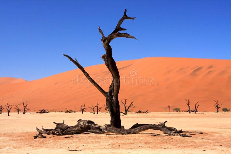 Nieżywy Vlei drzewo, Sossusvlei, Namibia, afryka poludniowa zdjęcie stock