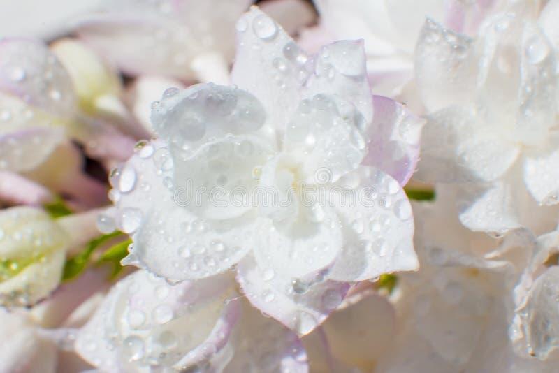 ?nie?nobia?y r??owy bez z rosa kroplami na kwiacie obraz stock