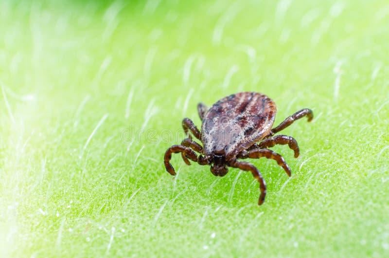 Niebezpieczny darmozjada i infekcja przewoźnika lądzieniec obsiadanie na zielonym liściu zdjęcia royalty free