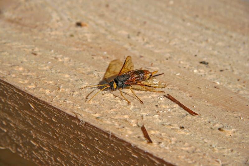 Niebezpieczny insekta szerszeń z żądłem siedzi na drewnianym promieniu obraz stock