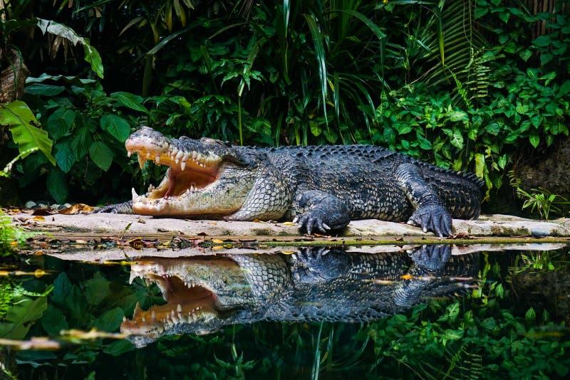 Niebezpieczny krokodyl w głębokim lesie obraz stock