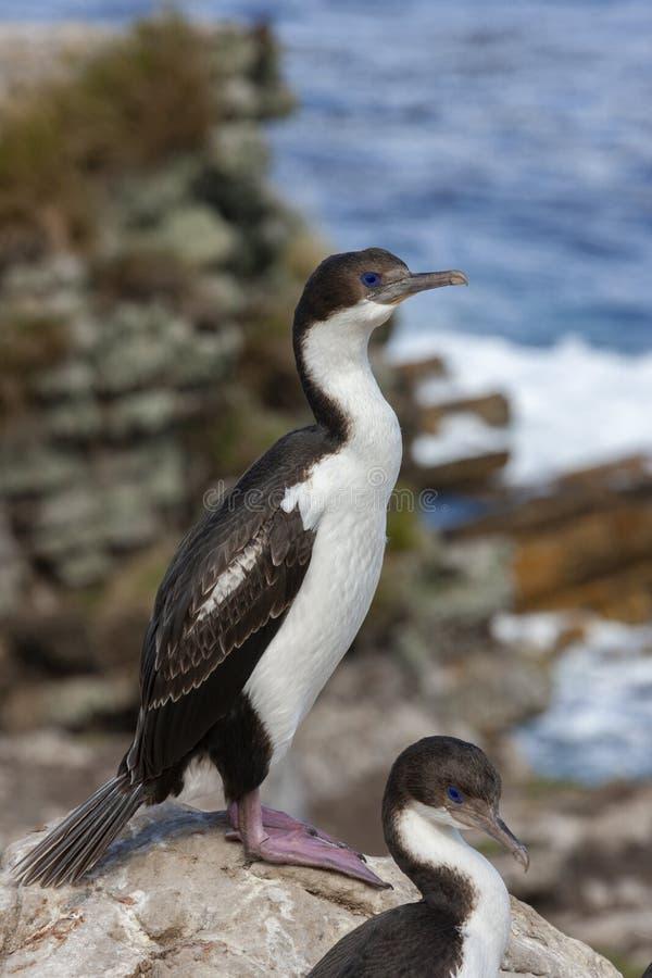 Niebiescy Komoranci Eyed - Falklandy zdjęcia stock