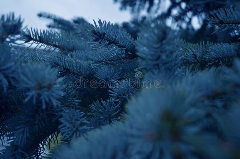 niebieska choinka fotografia stock