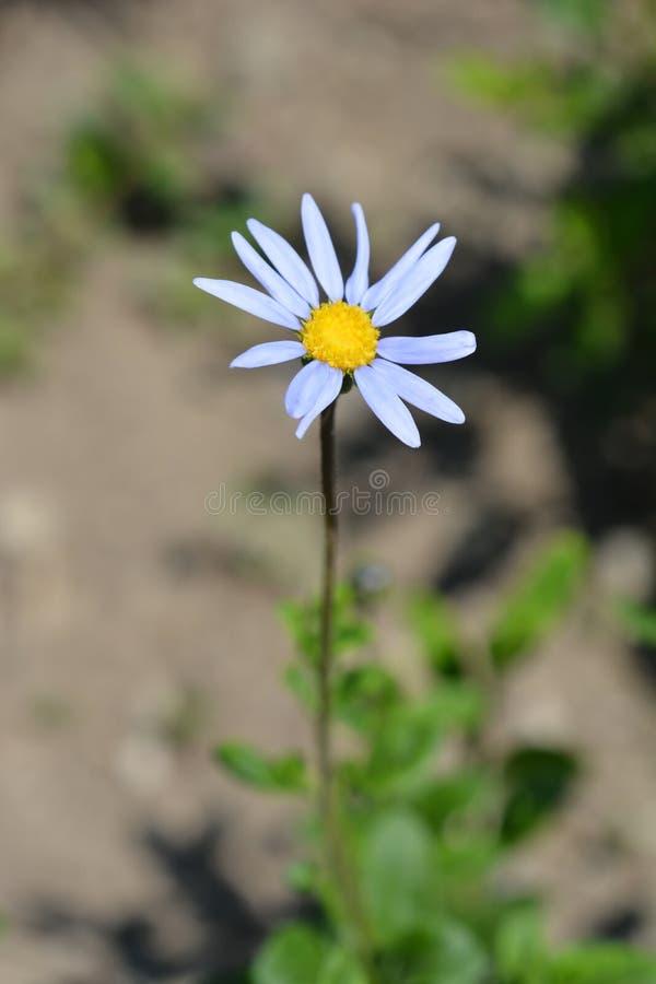 niebieska daisy obrazy royalty free