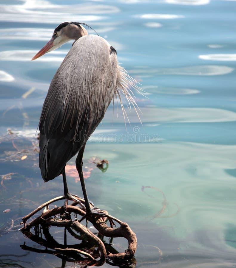 niebieska heron fotografia stock