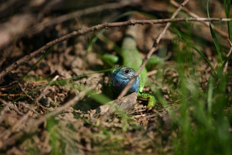 niebieska jaszczurka obraz royalty free