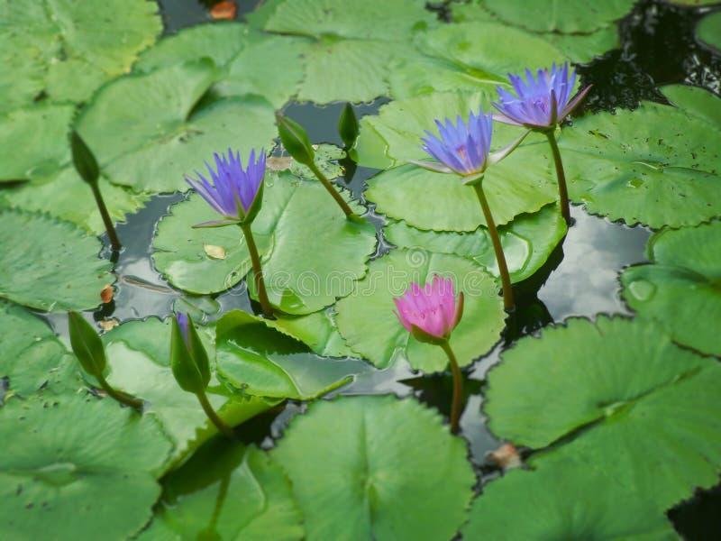 niebieska lily wody obrazy royalty free