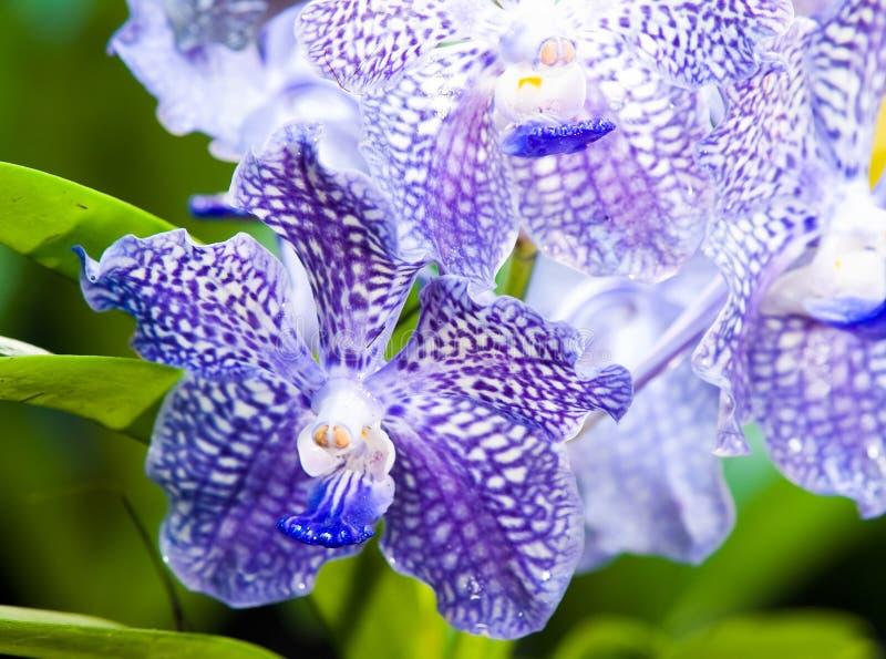 niebieska orchidea obrazy royalty free