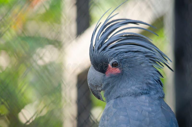 niebieska papuga obraz stock