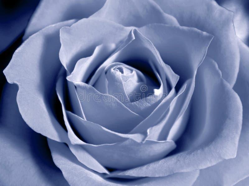 Niebieska Pastel Róża Obraz Stock