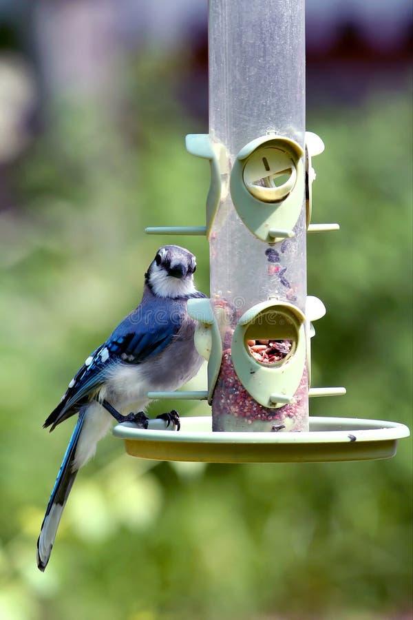niebieska sójka dozownik amerykańska zdjęcie stock