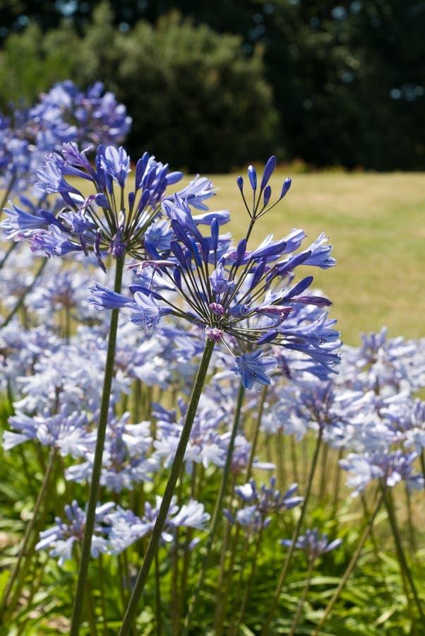 niebieski agapanthus kwiaty obrazy stock