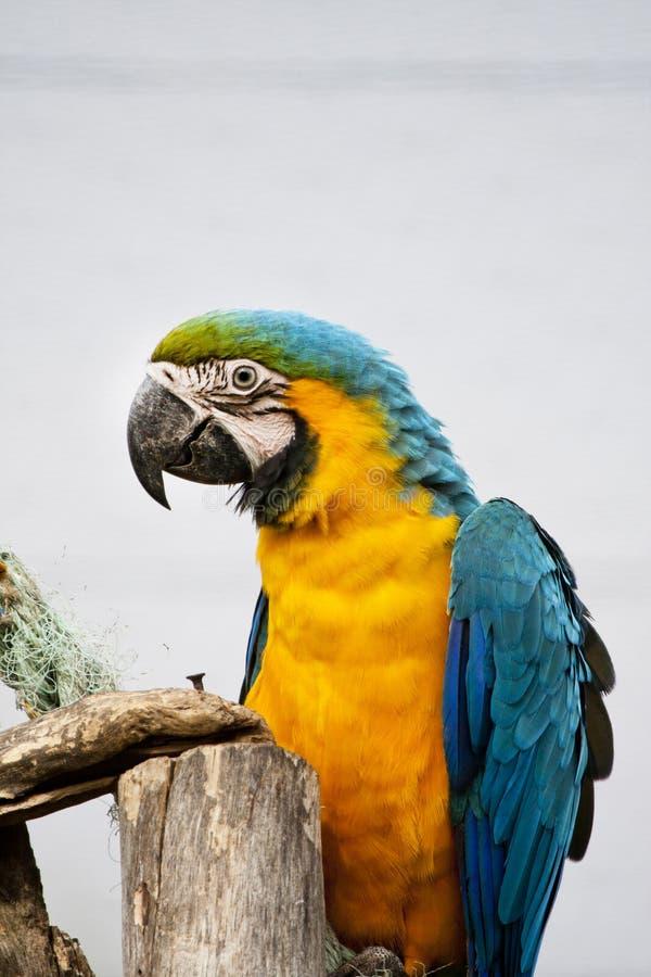 niebieski ara żółty fotografia royalty free