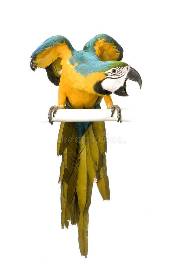 niebieski ara żółty