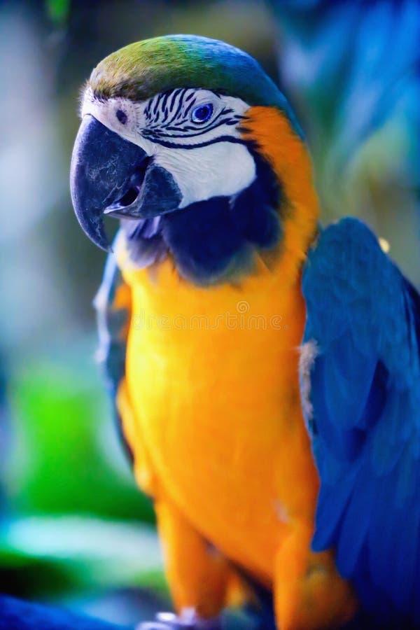 niebieski ara ? obraz stock