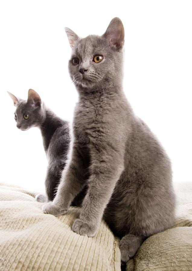 niebieski brytyjski rosyjskiego shorthair kota zdjęcia stock