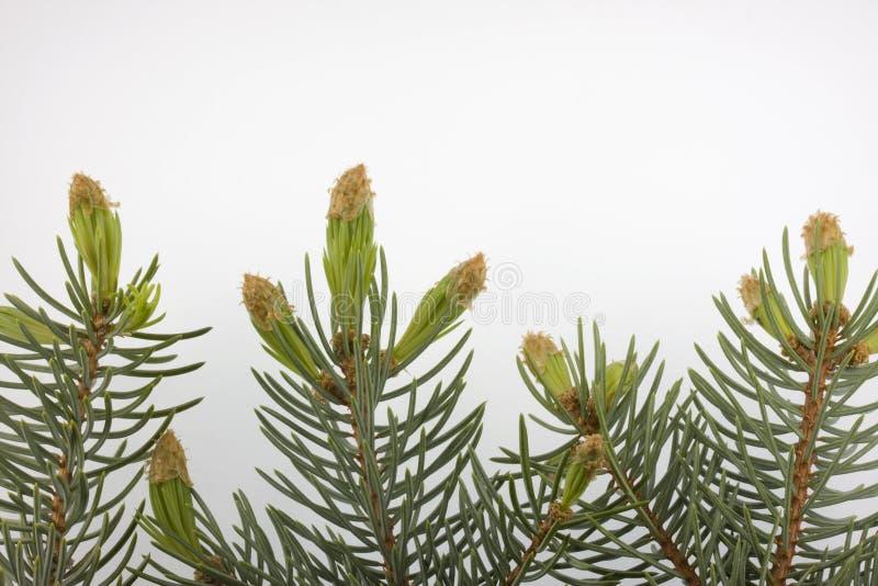 niebieski bud nową srebrną świerczyny drzewa zdjęcia stock
