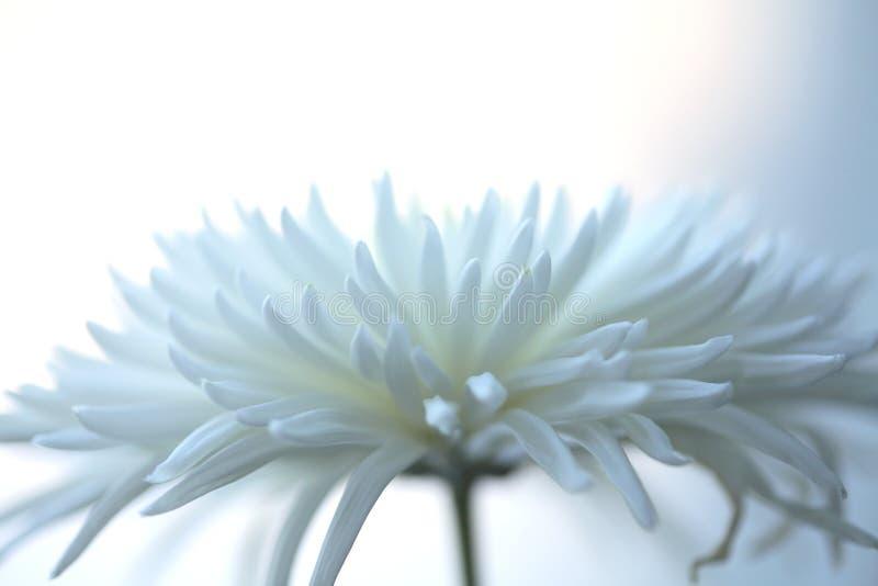 niebieski chryzantemy światło obrazy stock