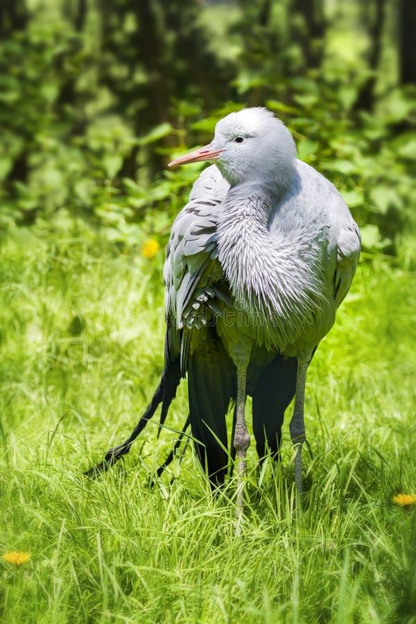 niebieski crane zdjęcie stock