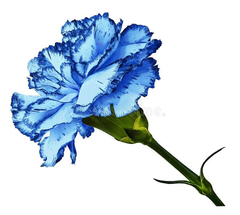 niebieski goździk Kwitnie na t białego odosobnionego tło z ścinek ścieżką Zakończenie Żadny cienie Strzelający biały goździkowy f zdjęcia royalty free