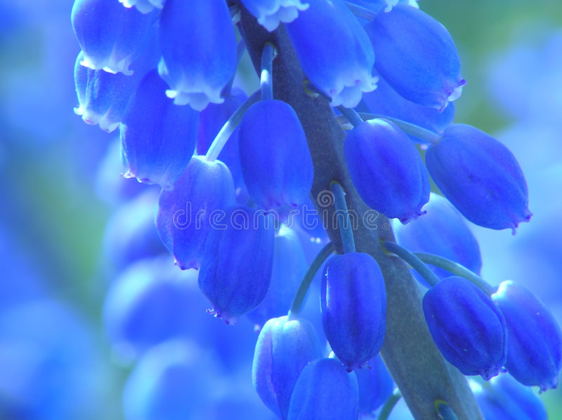 niebieski hiacynt perła obraz stock
