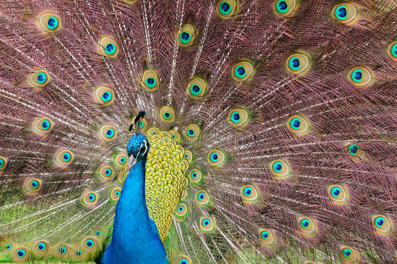niebieski indyjski paw zdjęcia stock