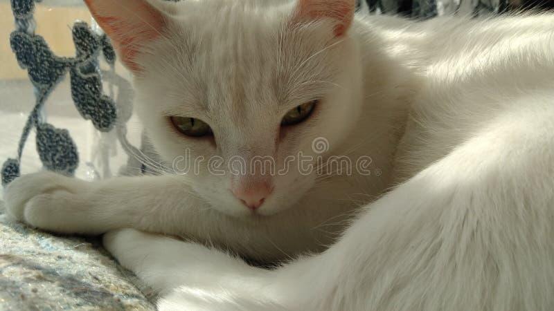 niebieski kot się obraz stock