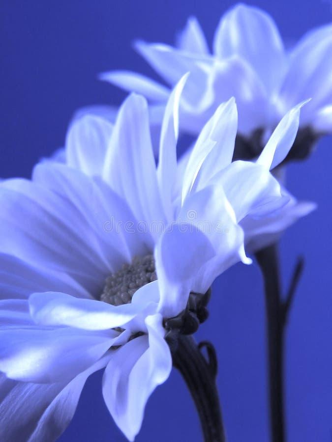 niebieski kwiat fotografia stock