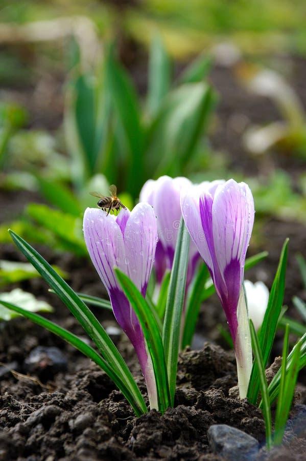 niebieski kwiat crocus wiosny, blisko iridaceae zdjęcia royalty free