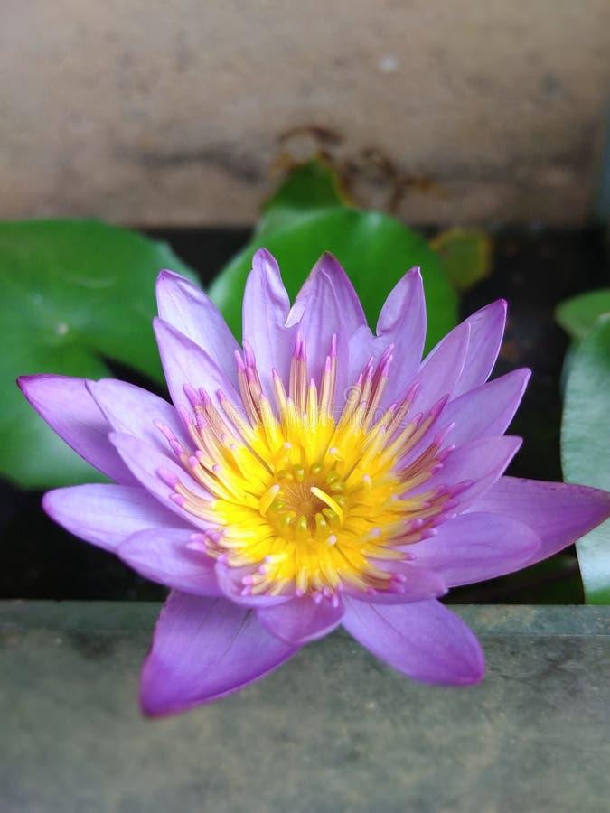 Niebieski kwiat lotosu zdjęcia royalty free