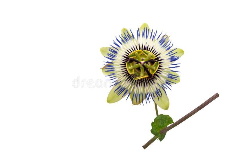 niebieski kwiat ' Passiflora Caerulea zdjęcie stock