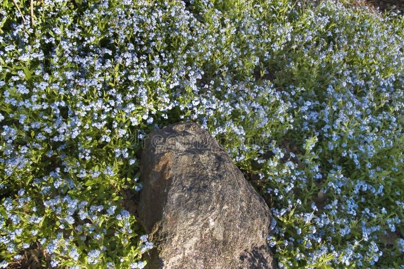 niebieski kwiat rock obraz stock